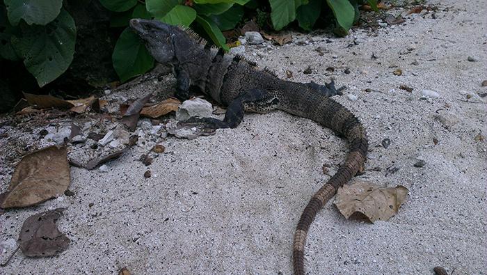 grand-sirenis-riviera-maya-iguana