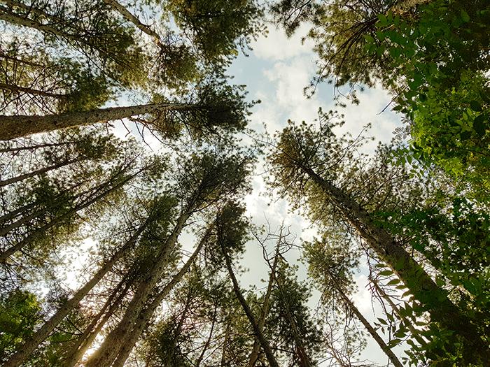 Боровата гора в началото на пътеката